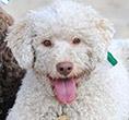 Romański pies dowodny